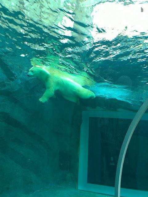 豪快に泳ぐシロクマ